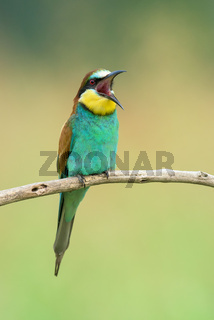 Bee-eater singing on a branch