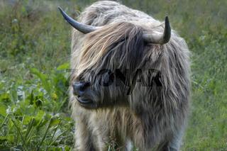 schottische Hochlandrinder junge Kuh