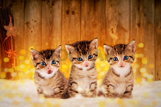 Three little kittens sitting in the snow with Christmas deco
