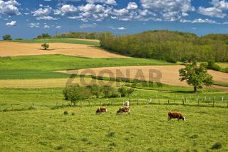 Cow herd in green landscape