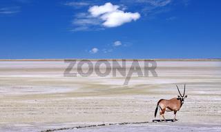 Spießbock am Rande der Etosha-Pfanne, Oryx, Etosha-Nationalpark, Namibia | Oryx at the edge of the Etosha pan, Etosha National Park, Namibia