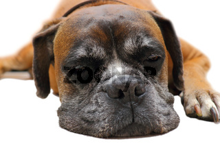 sleeping boxer