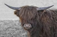 scottish highland cattle 5