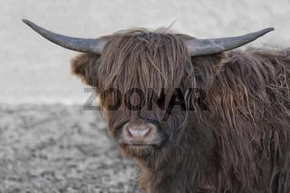 schottische Hochlandrinder 5