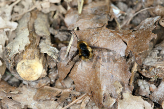 Grosser Wollweber, Bombylius major, Large Bee-fly