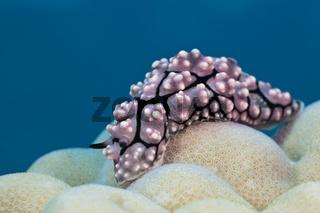 Warzenschnecke auf Koralle, Fidschi