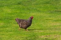 Chicken in the Yard