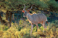 Male kudu antelope (Tragelaphus strepsiceros) in natural habitat