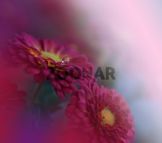 Beautiful Nature Background.Floral Art Design.Abstract Macro Photography.Red Daisy Flower.Pastels.