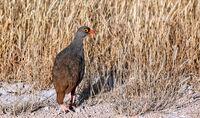 red-billed spurfowl, Etosha, Namibia