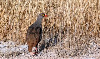 Rotschnabelfrankolin, Etosha NP, Namibia | red-billed spurfowl, Etosha, Namibia