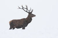 Red deer standing on field in snowstorm in winter.