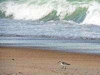 A Sanderling, Calidris alba, on the Danish North Sea coast
