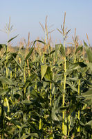 A field full of Maize almost ready to harvest