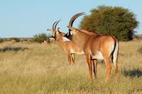 Rare roan antelopes (Hippotragus equinus) in natural habitat