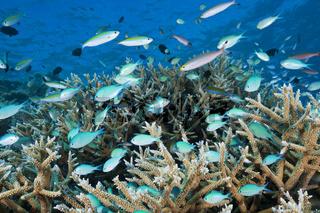 Schwarm Riffbarsche am Riff, Malediven