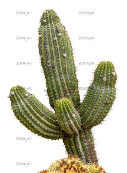 Isolated Giant Saguaro Cactus Tree
