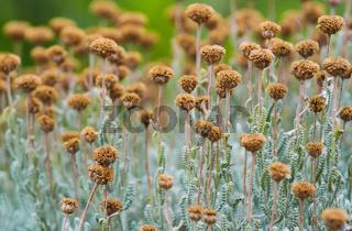 Field with dried santolina flowers (santolina chamaecyparissus)