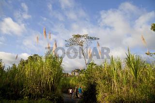 Wanderweg durch hohes Zuckerrohr (Saccharum officinarum) im Nationalpark Vulkan Arenal beim Ort La Fortuna