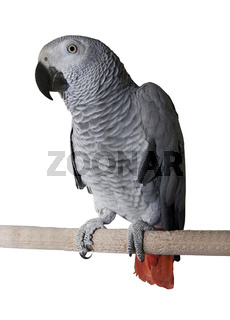 Big tropical grey parrot over white background