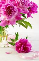 Gorgeous pink peonies close-up.