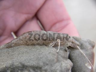 Nordseegarnele common shrimp