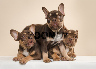 Three adorable  french bulldog puppy dogs being naughty on a cream colored background