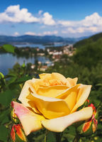 Beautiful rose flower in Swiss garden, lake, mountains and blue sky in Wollerau on background, nature of Switzerland