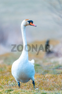 common big bird mute swan walking on the shore of the pond
