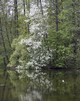 blooming bird cherry in the park is reflected in the lake