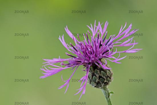 Braunray knapweed (Centaurea jacea)