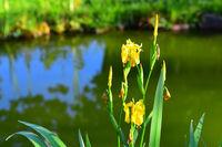 210610-232 Sumpfschwertlie, Yellow flag, Iris pseudacoris.jpg