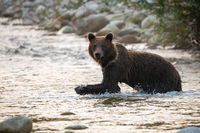 Big brown bear wading in river in autumn morning sunlight
