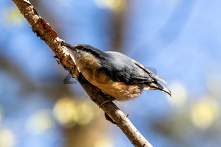 Eurasian nuthatch or wood nuthatch bird, Sitta europaea perched on a branch, foraging in a forest.