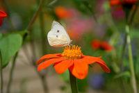 Kohlweißling auf Ringelblumenblüte
