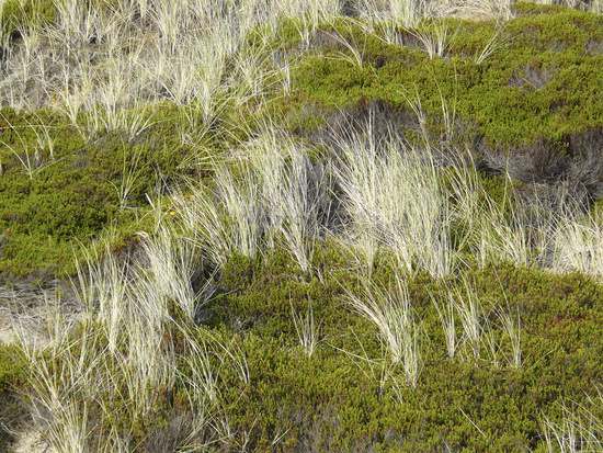 Beach grass and Crowberry in the dunes of Sylt