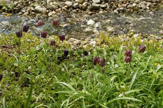 Fritillaria meleagris, Schachbrettblume, Fritillary