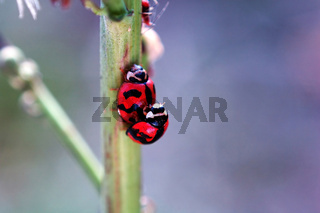 Ladybirds mating beside a small aphid
