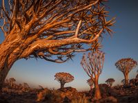 The Quivertree Forest near Keetmanshoop in Namibia, Africa.