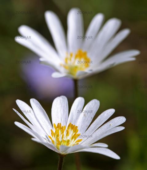 Anemone blanda White Spendour