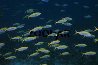 Gelbrücken-Füsilier, Yellowback Fusilier, Caesio xanthonota