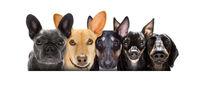 row of many dogs