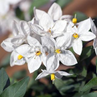 Weisse Kartoffelbaumblüten