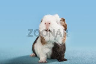 lustiges Meerschweinchen Portrait