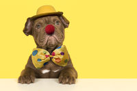 Cute old english bulldog puppy dressep up as a clown with bow, hat and a red nose on a yellow background