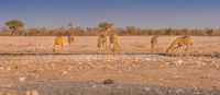 Giraffes drinking water at a waterhole in the Etosha National Park in Namibia.