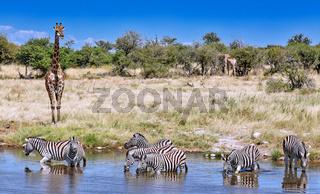 Giraffen und Zebras am Wasserloch, Etosha-Nationalpark, Namibia | giraffes and zebras at the waterhole, Etosha National Park, Namibia
