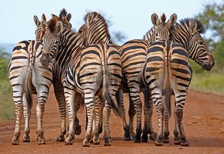 Steppenzebras, Südafrika, South Africa, Plains Zebras, Perissodactyla, Equus quagga