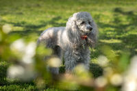 A miniature gray poodle toy laying on a green lawn on a sunny day. Out of focus branch in the foreground.