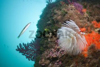 Schraubensabelle an Korallenriff